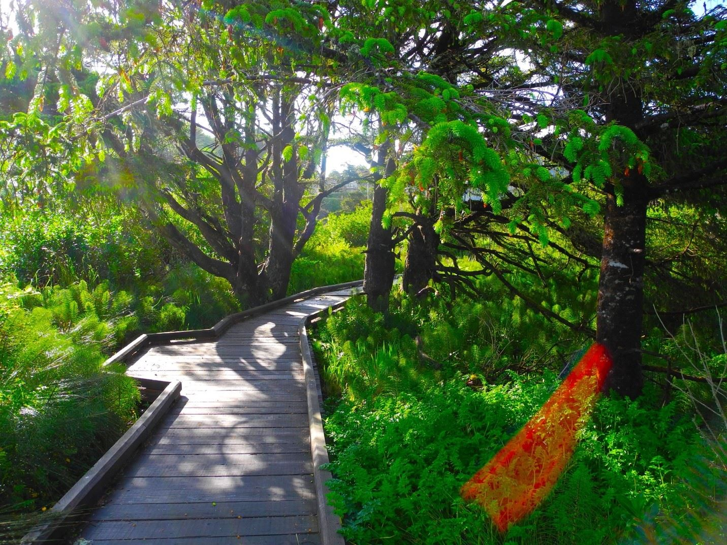 Boardwalk Path Through Green Trees and Foliage